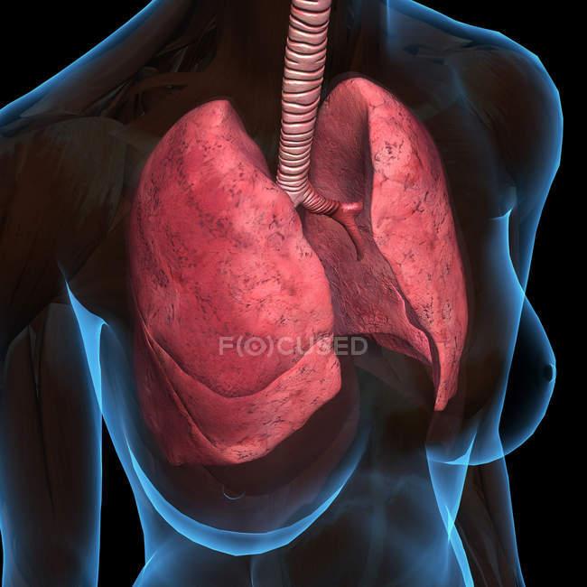 Рентген женской груди с легкими на черном фоне — стоковое фото