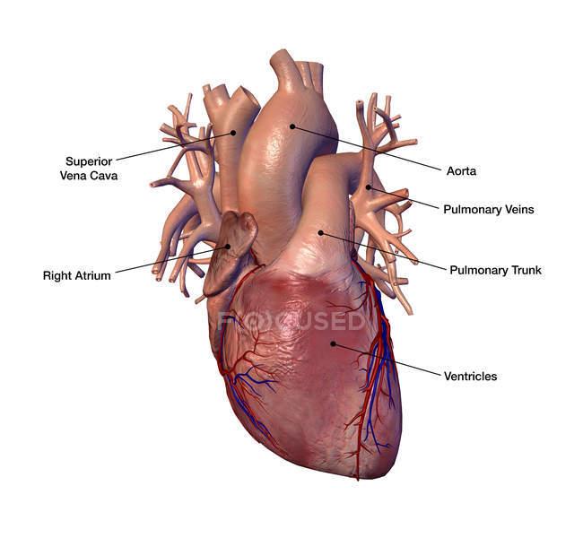 Людського серця етикетки на білому тлі — стокове фото