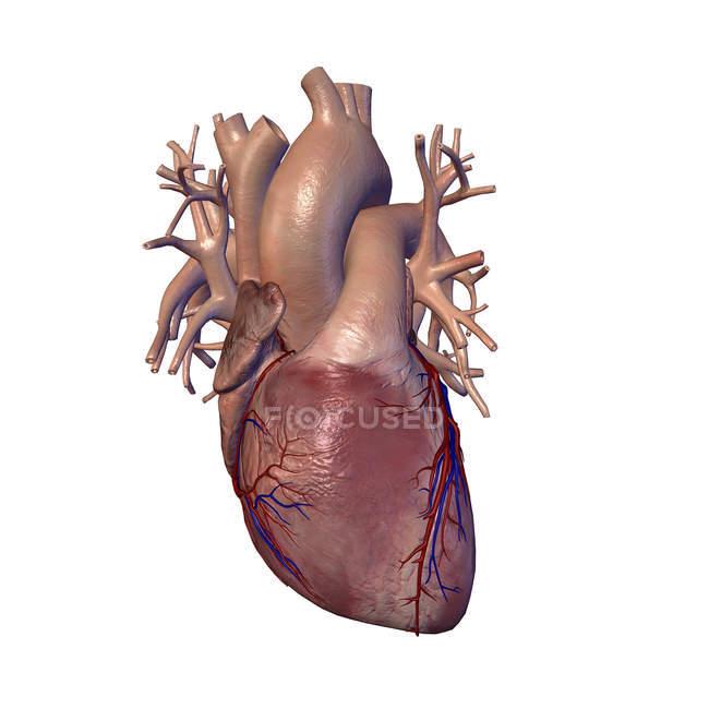 Людського серця з коронарних артерій і вен — стокове фото