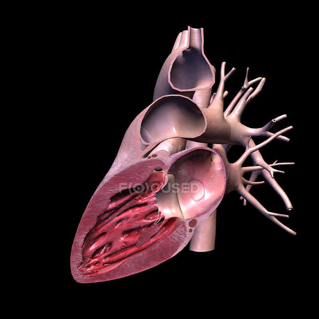 Lateral cut of human heart on black background — Fotografia de Stock