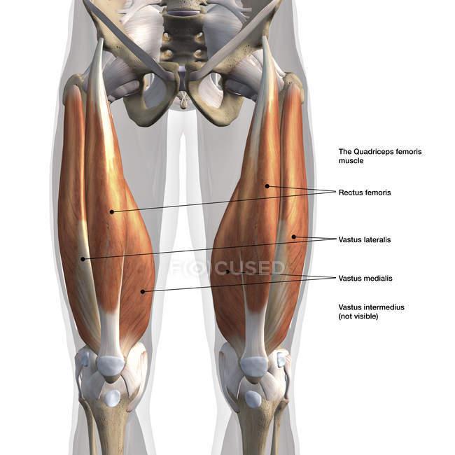 Vista anterior de los músculos cuádriceps masculinos, etiquetados sobre fondo blanco - foto de stock