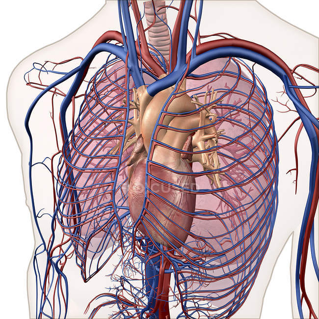 Layered View Of Circulatory And Respiratory Systems Stock Photo