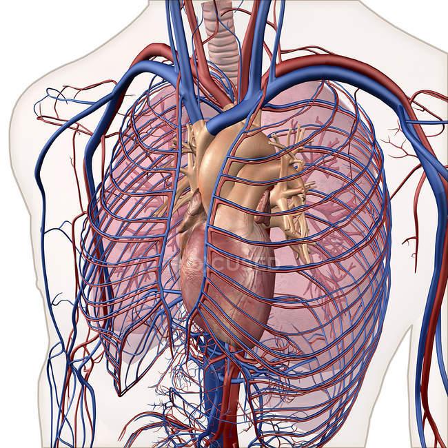 Слоистых вид кровеносной и дыхательной систем — стоковое фото