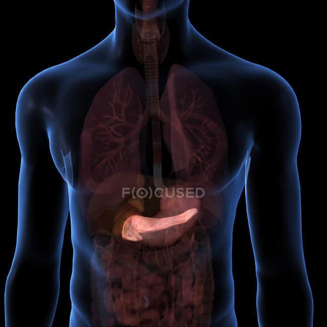 Pancréas humain au sein de torse sur fond noir — Photo de stock
