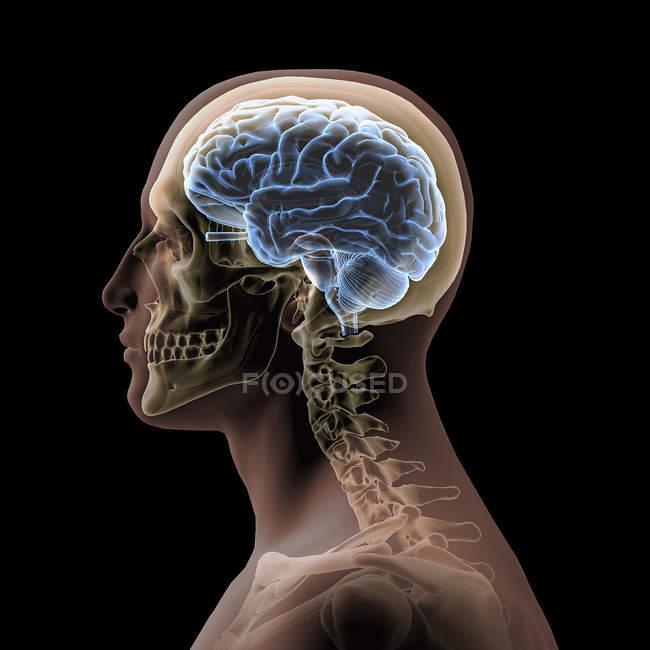 Profilo di una testa maschile con cranio e cervello su sfondo nero — Foto stock