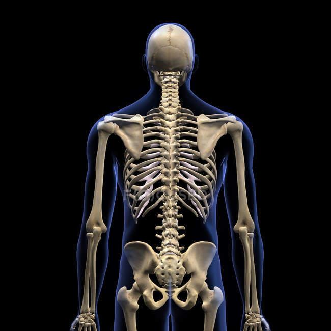 Vista trasera de la columna vertebral humana sobre fondo negro - foto de stock