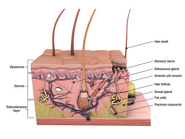 Anatomia di sezione trasversale di pelle con etichette su priorità bassa bianca — Foto stock