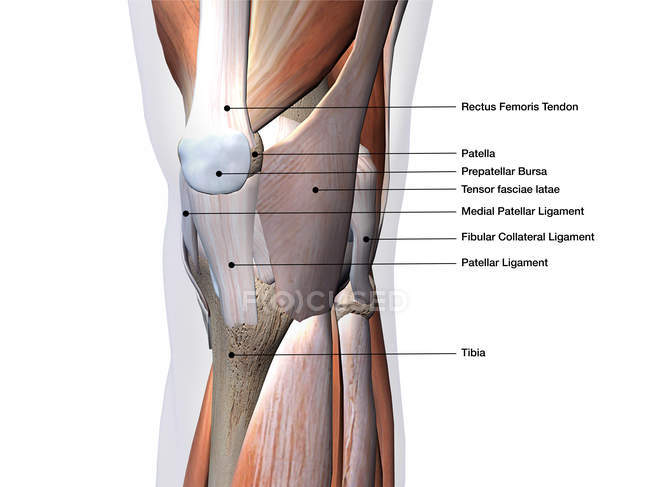 Knee Muscles And Ligaments With Labels On Black Background Part Of