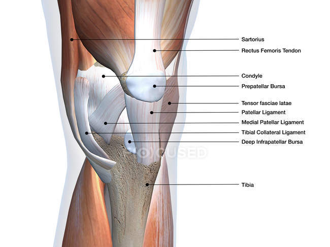 Vista anterior de los músculos y ligamentos de rodilla con etiquetas sobre fondo blanco - foto de stock