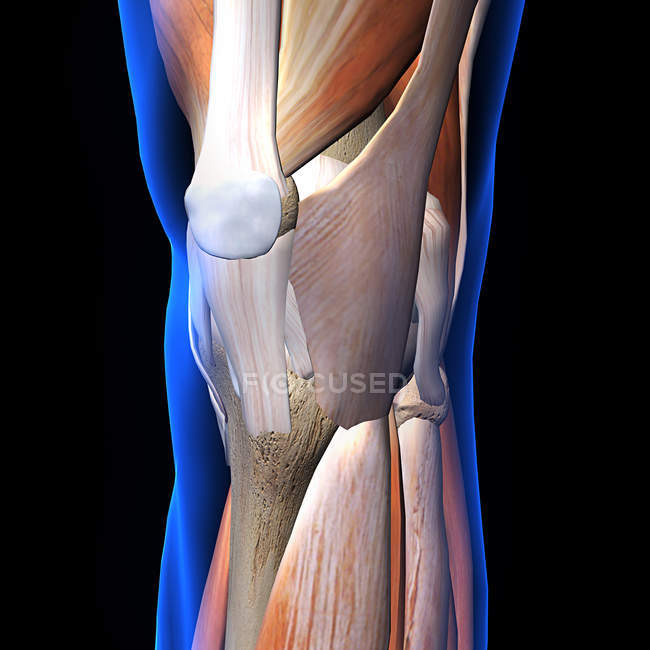 X Ray View Of Knee Muscles And Ligaments On Black Background Part