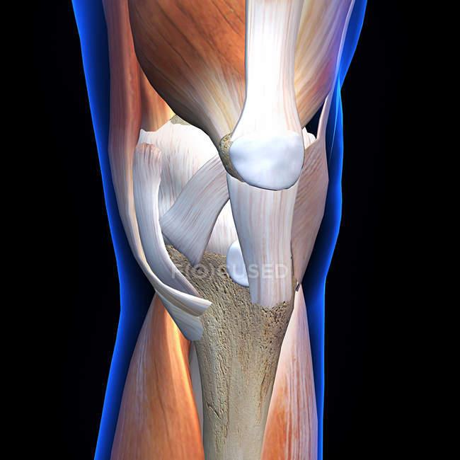 Vista de rayos X anteriores de los músculos y ligamentos de la rodilla sobre fondo negro - foto de stock
