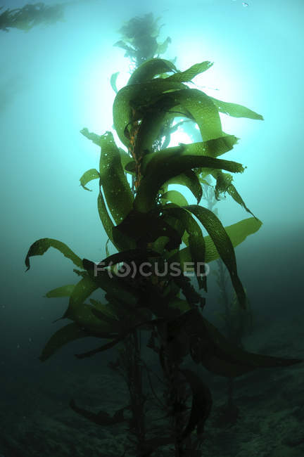 Silhouette des grünen Macrocystis Seetang Pflanze — Stockfoto