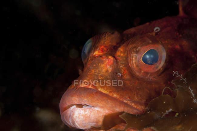 Closeup headshot de peixe escorpião vermelho — Fotografia de Stock