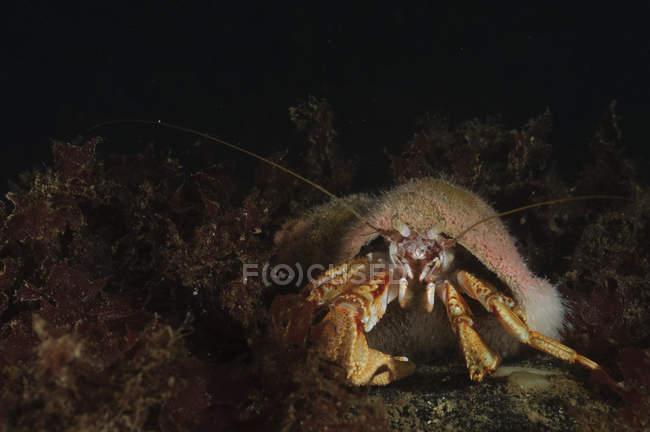 Vista de cerca de cangrejo ermitaño en agua oscura - foto de stock