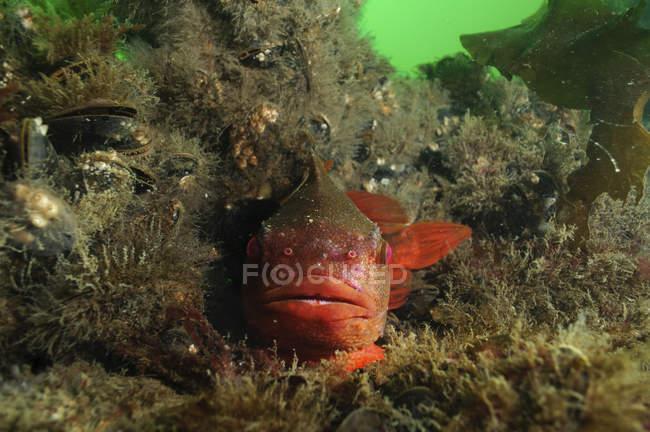 Vue rapprochée du poisson suceur de grumeaux sur le récif — Photo de stock