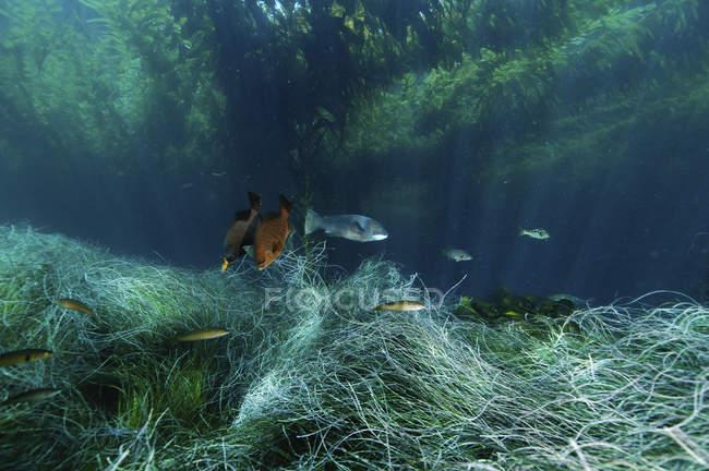 Kelp forest and swimming fish, Islas San Benito, Baja California, México - foto de stock