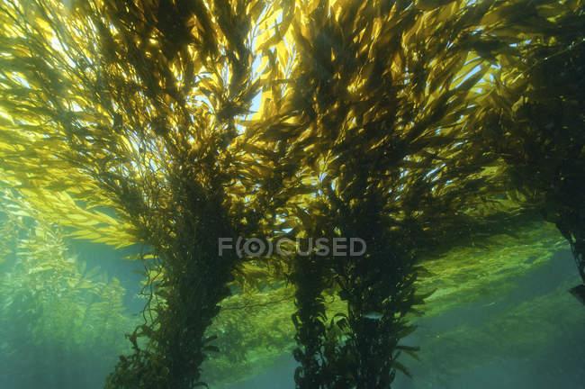 Tagsüber Unterwasser Blick auf grüne Kelpwald — Stockfoto