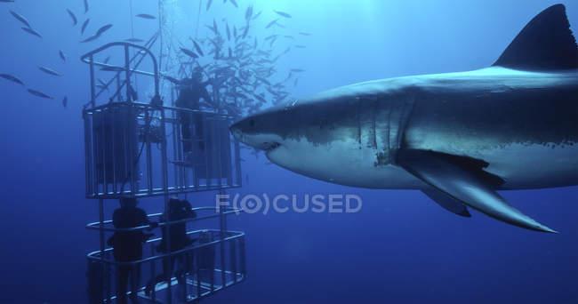 Grand requin blanc natation par des plongeurs dans une cage de requin — Photo de stock