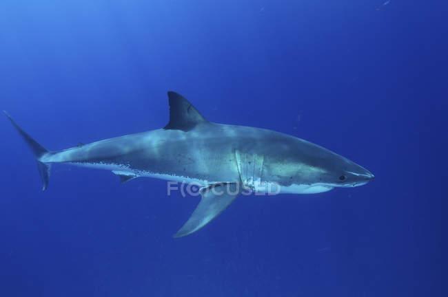 Grand requin blanc à l'eau bleue — Photo de stock