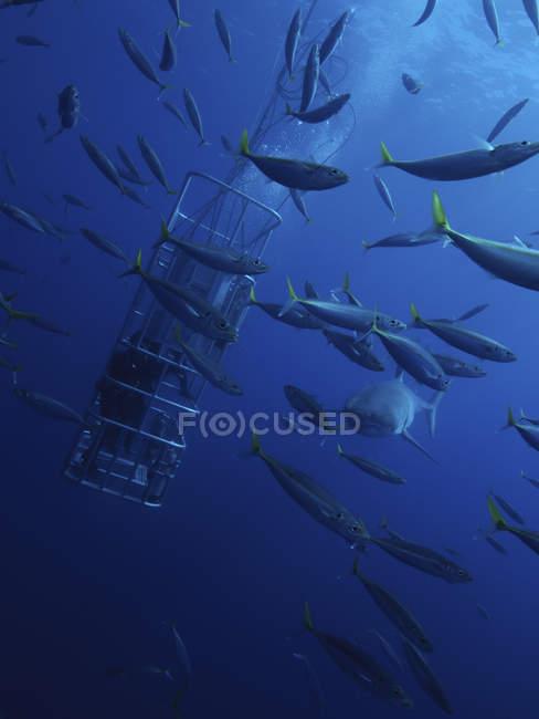 Дайвери годування Велика біла акула і ставрида приманки — стокове фото