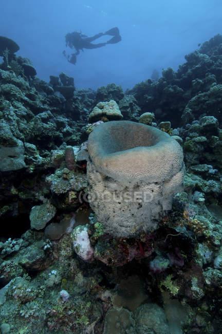 Sponge and subacqueo, Farasan Banks, Mar Mar Mar, Arabia Saudita — Foto stock