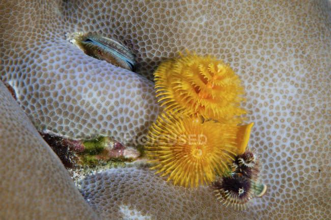 Weihnachtsbaum Würmer in Steinkorallen — Stockfoto