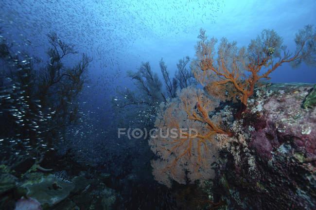 Harte Korallenriff mit Fischschwarm, Koh Tachai, Similan Inseln, Thailand — Stockfoto