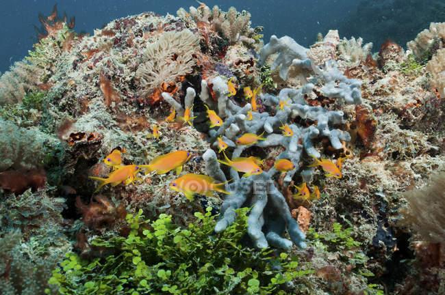 Gelbe Riffbarsche Strömen über Korallenriff Schwimmen — Stockfoto