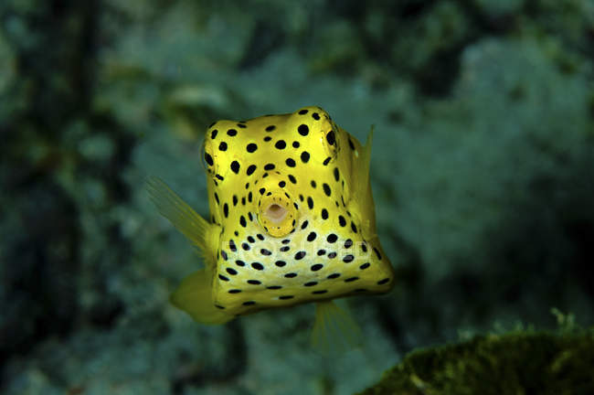 Closeup front view of yellow boxfish — Stock Photo