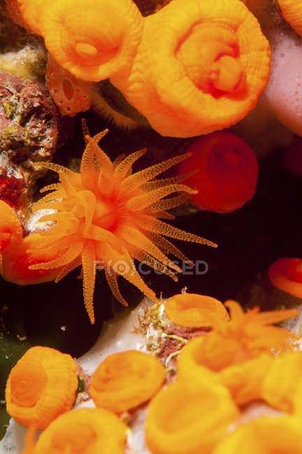 Closeup view of orange sea anemones — Stock Photo