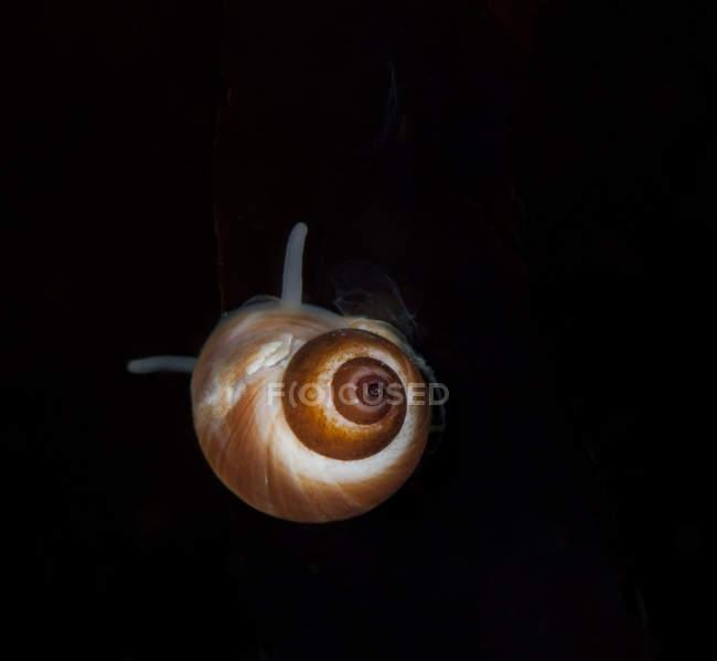 Lumaca di mare nella shell su priorità bassa nera — Foto stock