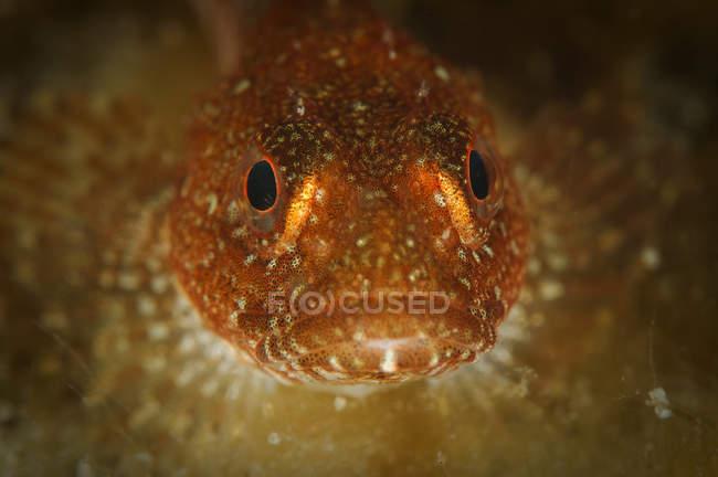 Крупним планом фронтальний вид бичка риб'яча голова — стокове фото