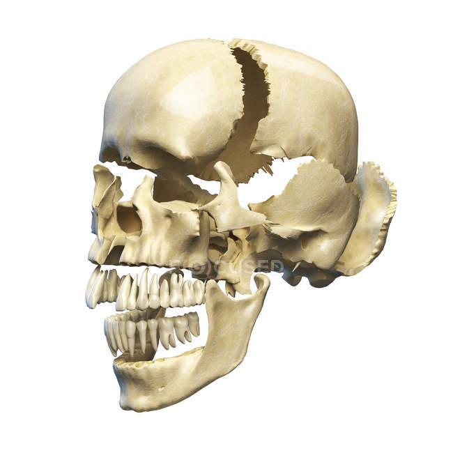 Perspectiva del cráneo humano con partes explotadas - foto de stock