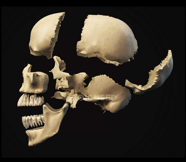 Vista laterale del cranio umano con parti esplose — Foto stock