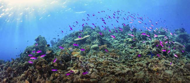 Peces fusileros nadando sobre los arrecifes de Maratua, Indonesia - foto de stock