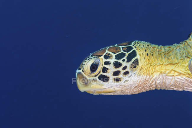 Closeup view of green turtle head in dark water — Stock Photo