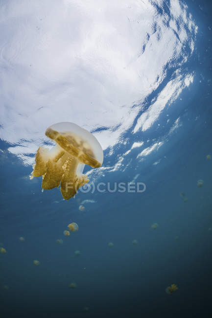 Golden jellyfish floating in blue water — Stock Photo