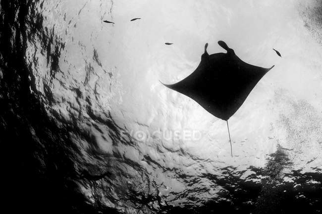 Reef manta ray and fish silhouettes near water surface — Stock Photo