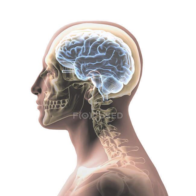 Perfil de cabeza de hombre con cráneo y cerebro aislados sobre fondo blanco - foto de stock