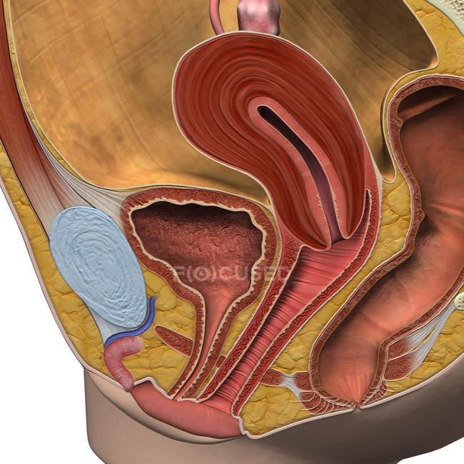 Vista sagital del sistema reproductor femenino - foto de stock