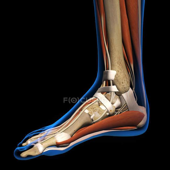 Röntgenblick Womans Fuß auf schwarzem Hintergrund — Stockfoto