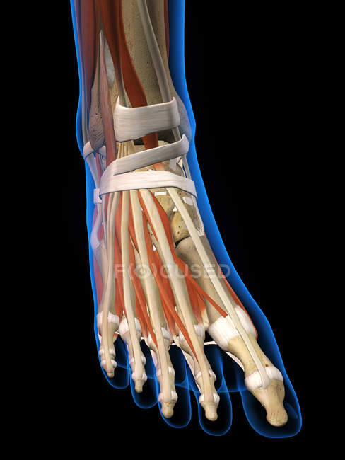 Vista de rayos x de pies de mujer sobre fondo negro - foto de stock