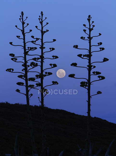 Moon rising between agave trees, Miramar, Argentina — Stock Photo