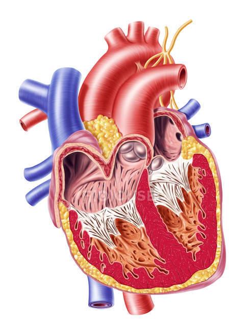 Поперечное сечение с подробной внутренней структуры человеческого сердца — стоковое фото