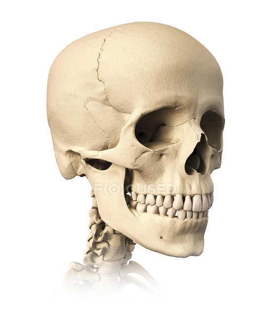 Vista lateral de la anatomía del cráneo humano aislado sobre fondo blanco - foto de stock