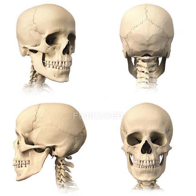 Анатомия человеческого черепа с разных ракурсов, изолированные на белом фоне — стоковое фото
