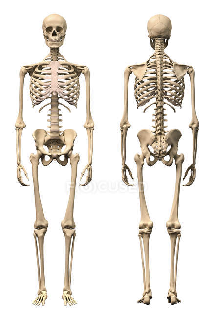 Front view and back view of anatomy of male human skeleton — Stock Photo