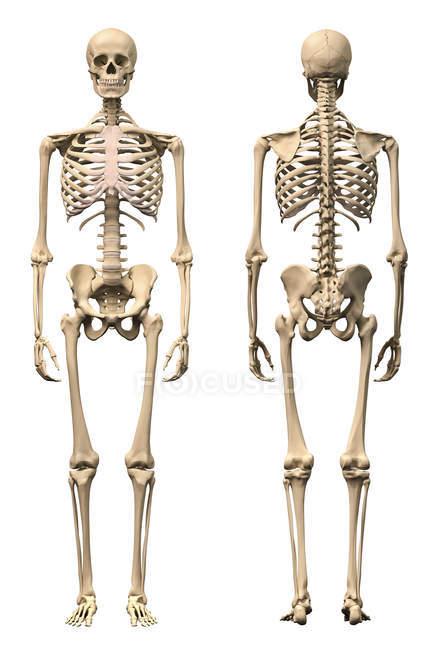 Вид спереди и вид сзади анатомии человеческого скелета мужчины — стоковое фото