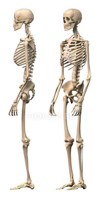 Вид сбоку Анатомия мужской человеческого скелета, изолированные на белом фоне — стоковое фото