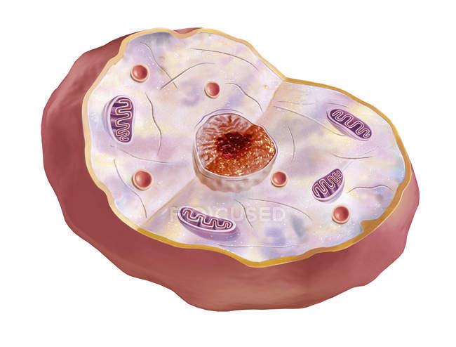 Anatomie menschlicher Zellen isoliert auf weißem Hintergrund — Stockfoto